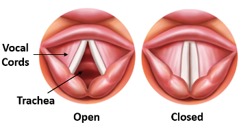 Vocal cords open and closed